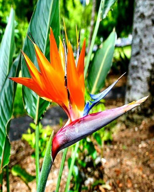 Foto d'estoc gratuïta de #indonesia #jakarta #bird del paradís #flower
