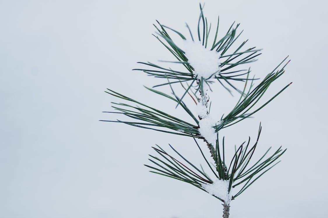 plante, sne, snedækket