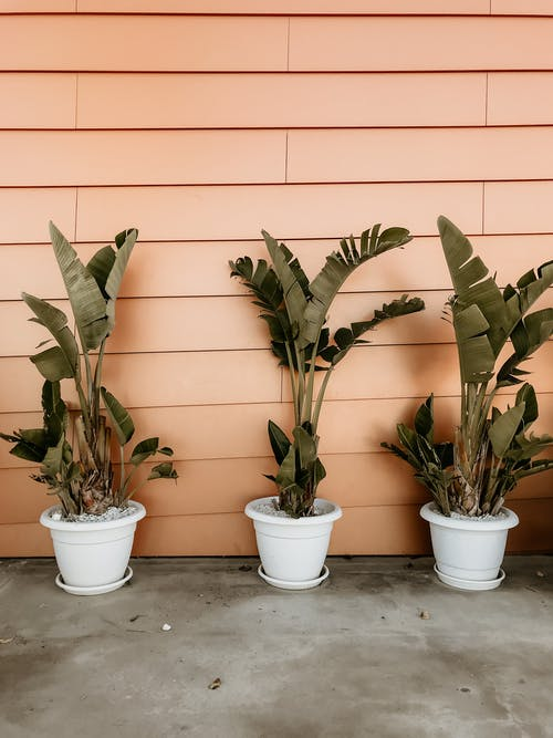 Banana Plant on Pots Beside Orange Wall