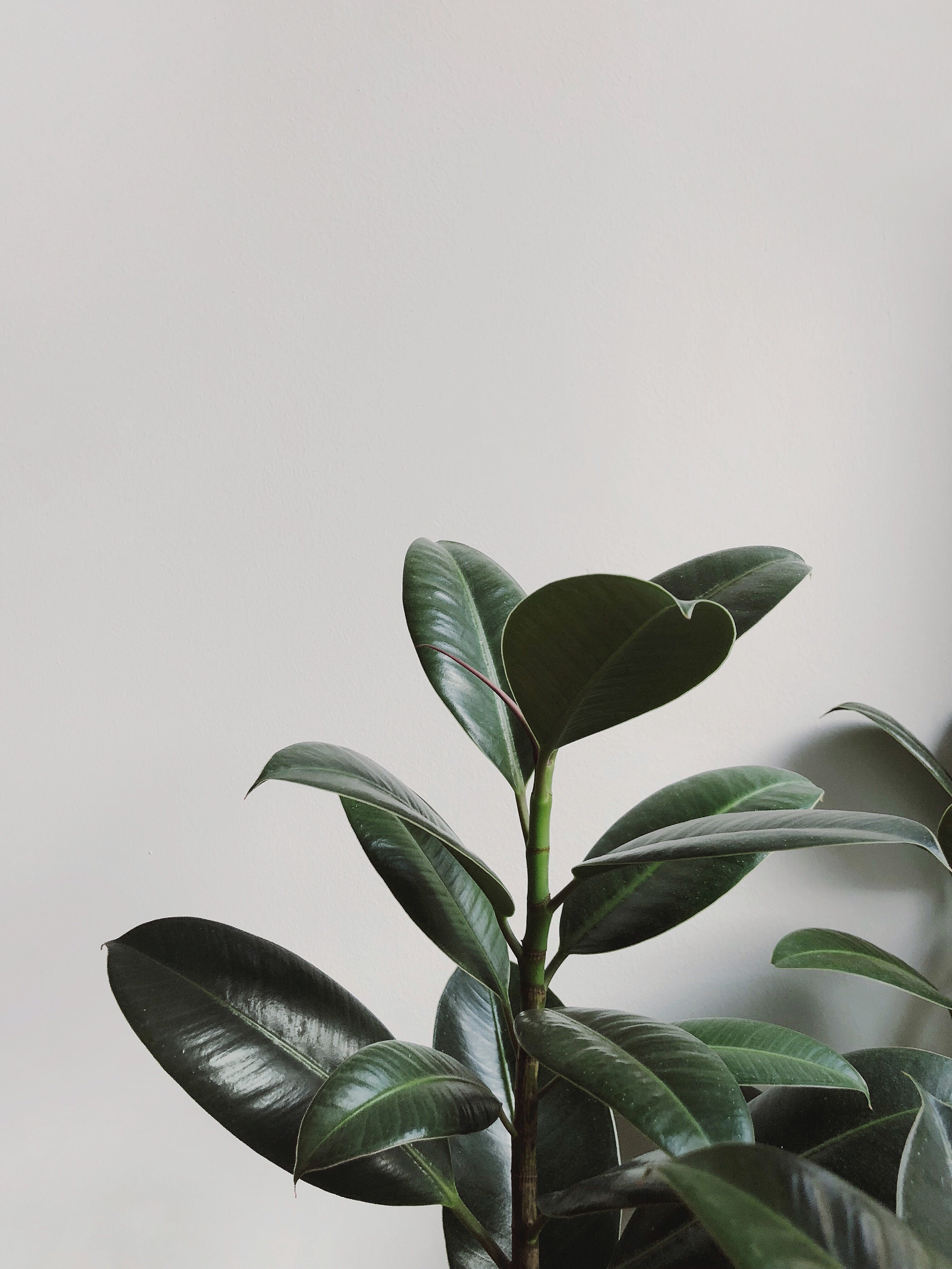 Close-up Photography of Rubber Plant