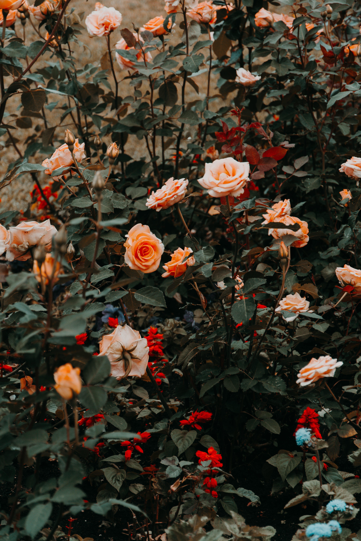 原本, 喜怒無常, 報春花, 夏天 的 免費圖庫相片
