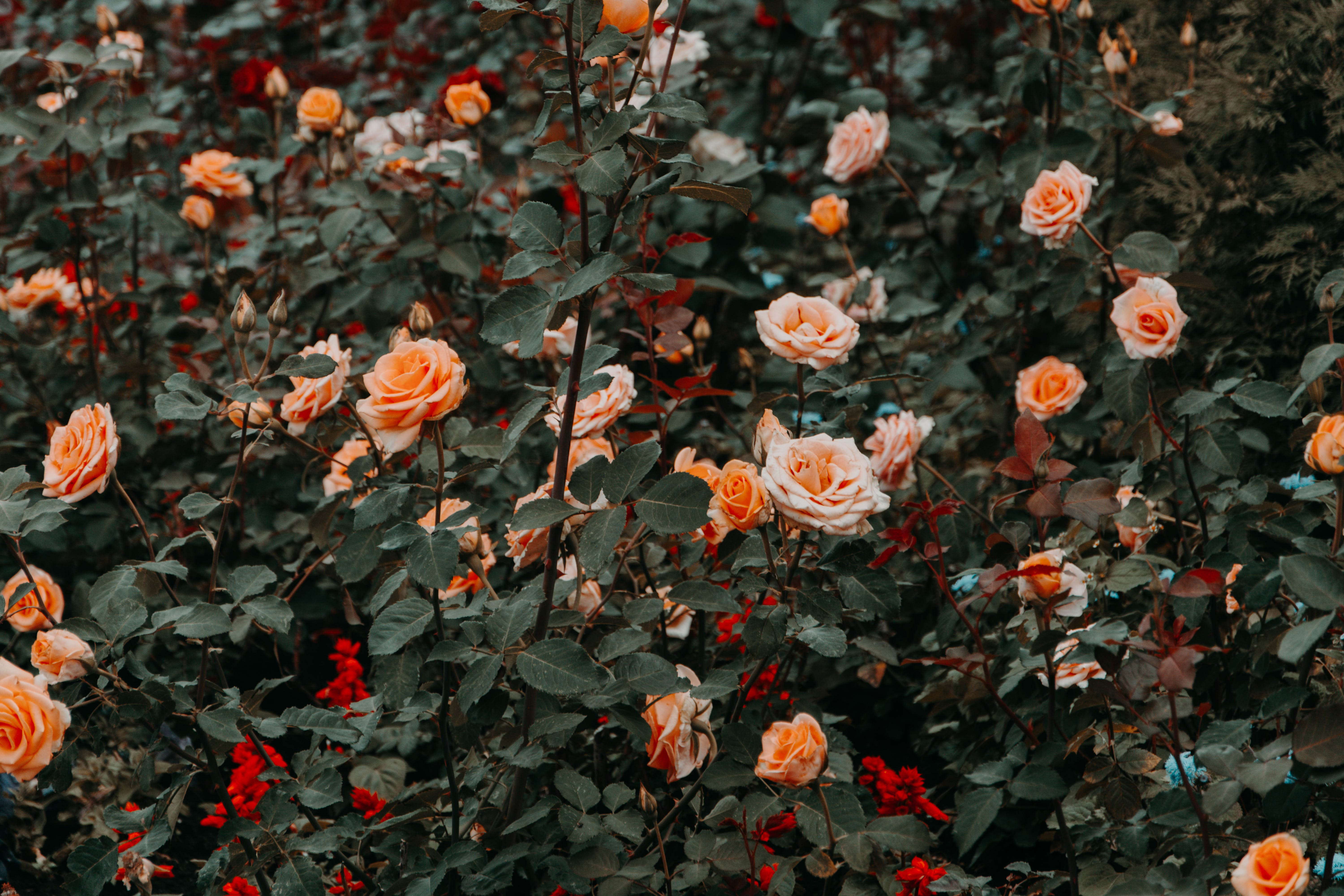 Photo of Rose Flowers