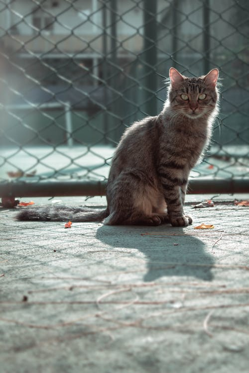 Tabby Cat Sitting Next To Chain Link Fence