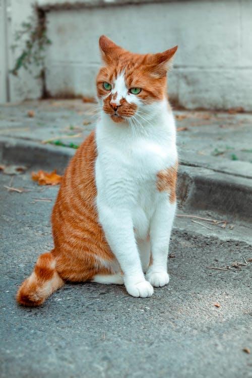 Безкоштовне стокове фото на тему «Вулиця, домашня тварина, кицька, кішка»
