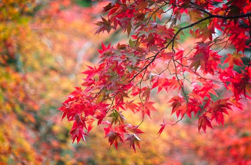 Foto stok gratis #japan #leaves #autumn #red