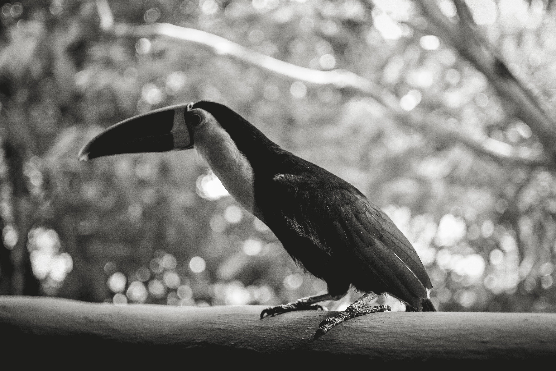 Free stock photo of black, BLANCO Y NEGRO, toucan, tucan