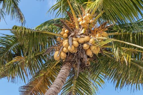 Fotobanka sbezplatnými fotkami na tému kokosová palma, kokosové orechy, kokosy, palma