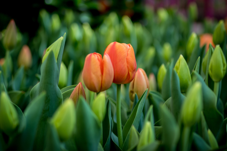 Gratis stockfoto met @bellagiolasvegas #lasvegas #tulips