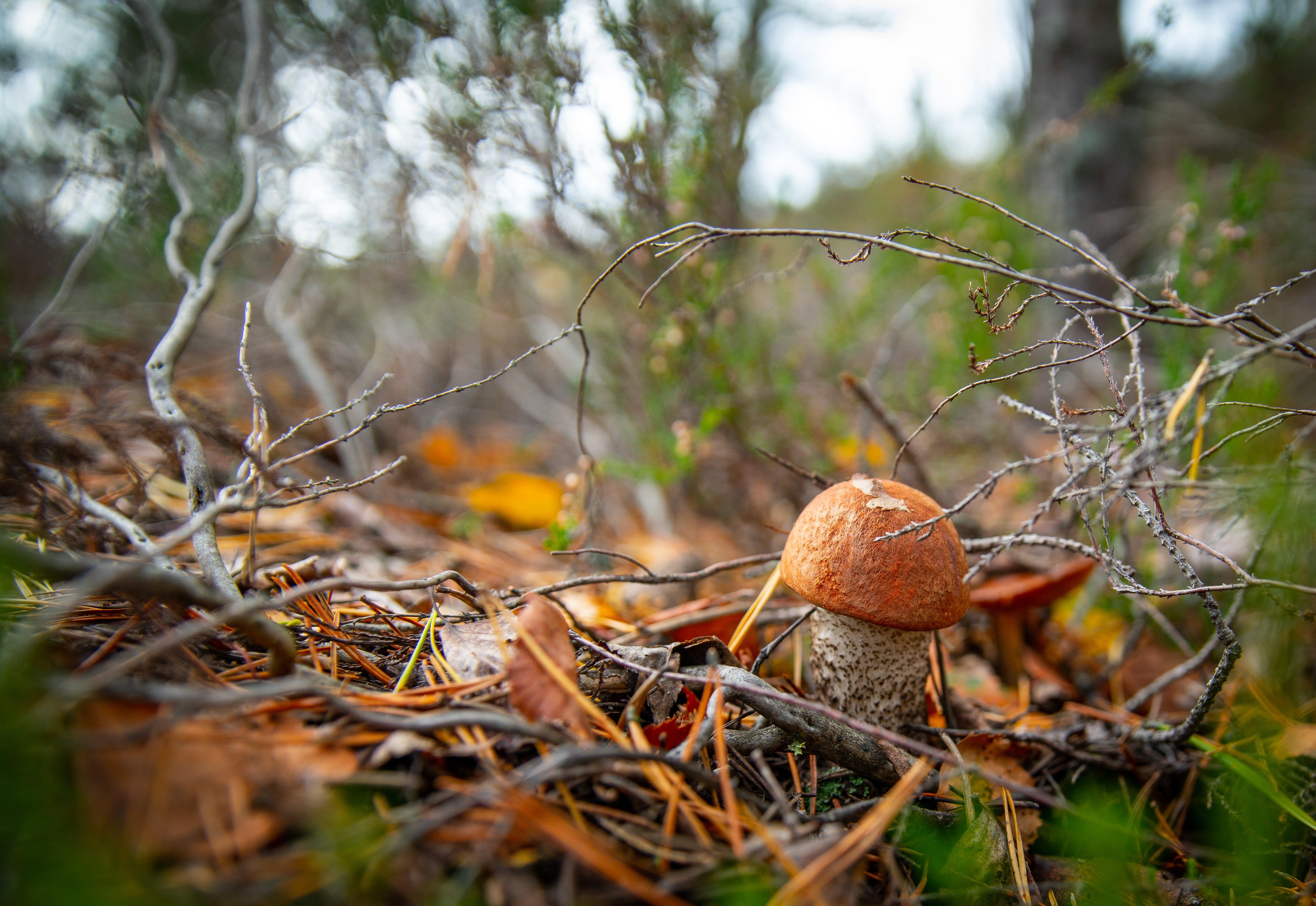 Free stock photo of autumn, forest, mushroom