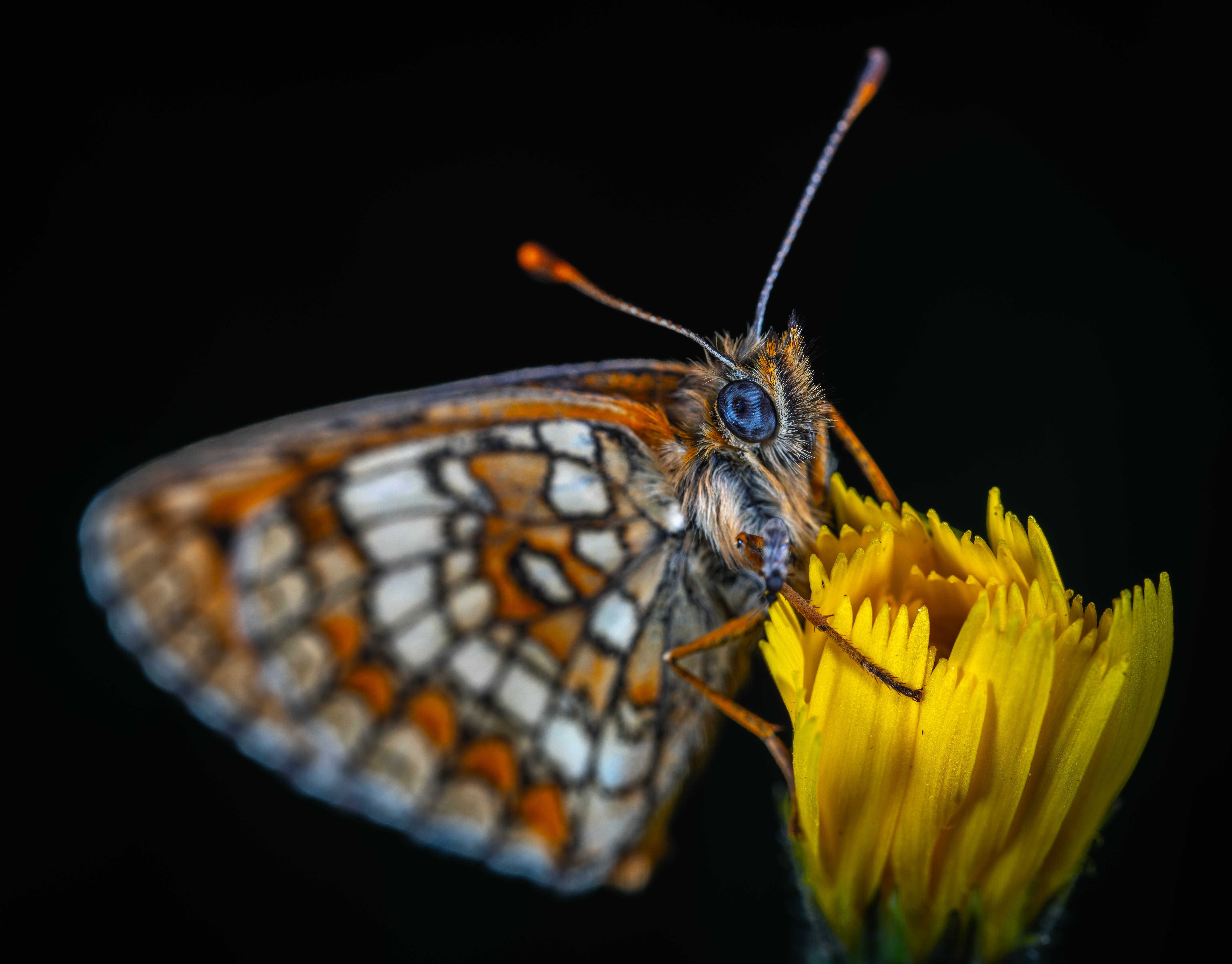 butterfly, flower, insect