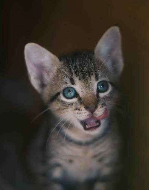 Foto stok gratis anak kucing, binatang, bulu, cambang