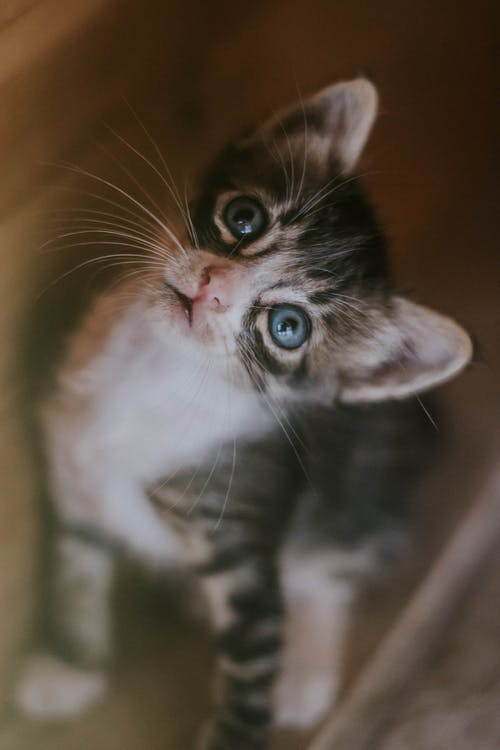 Close-Up Photo of Black and White Kitten Looking Up