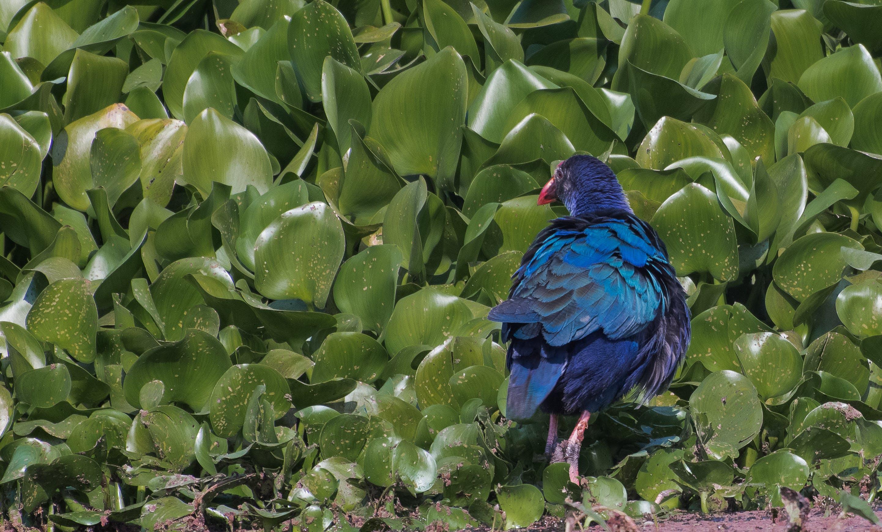 Kostenloses Stock Foto zu blue bird, henne, hübsch, lila swamphen