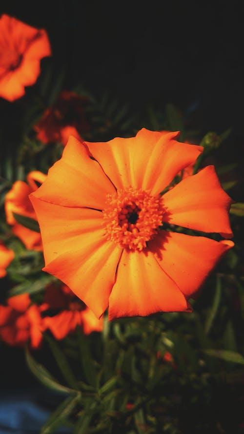 Imagine de stoc gratuită din concentrare, estompare, floare, floare roșie