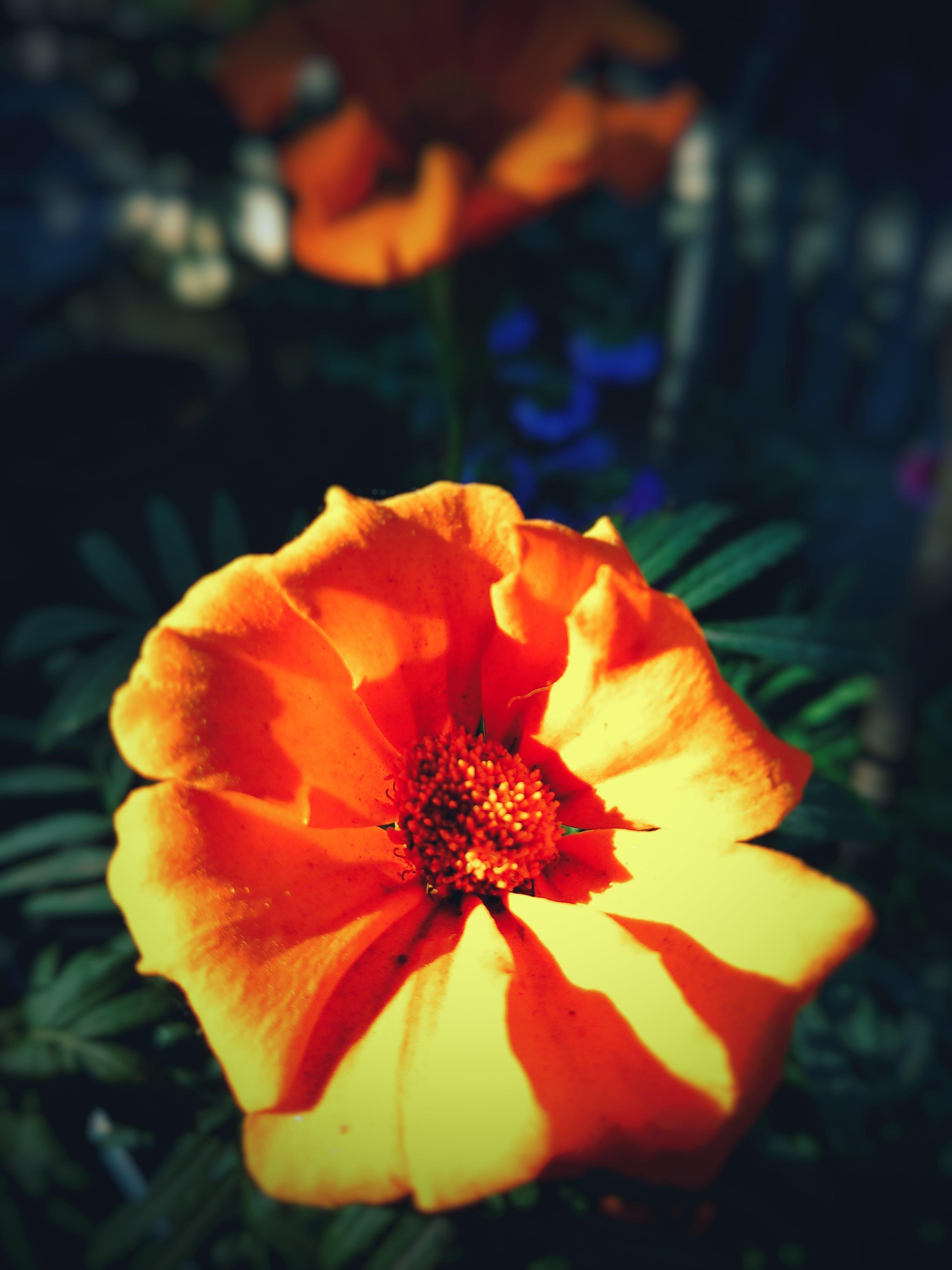 Free stock photo of beautiful flowers, beauty, blur, flower