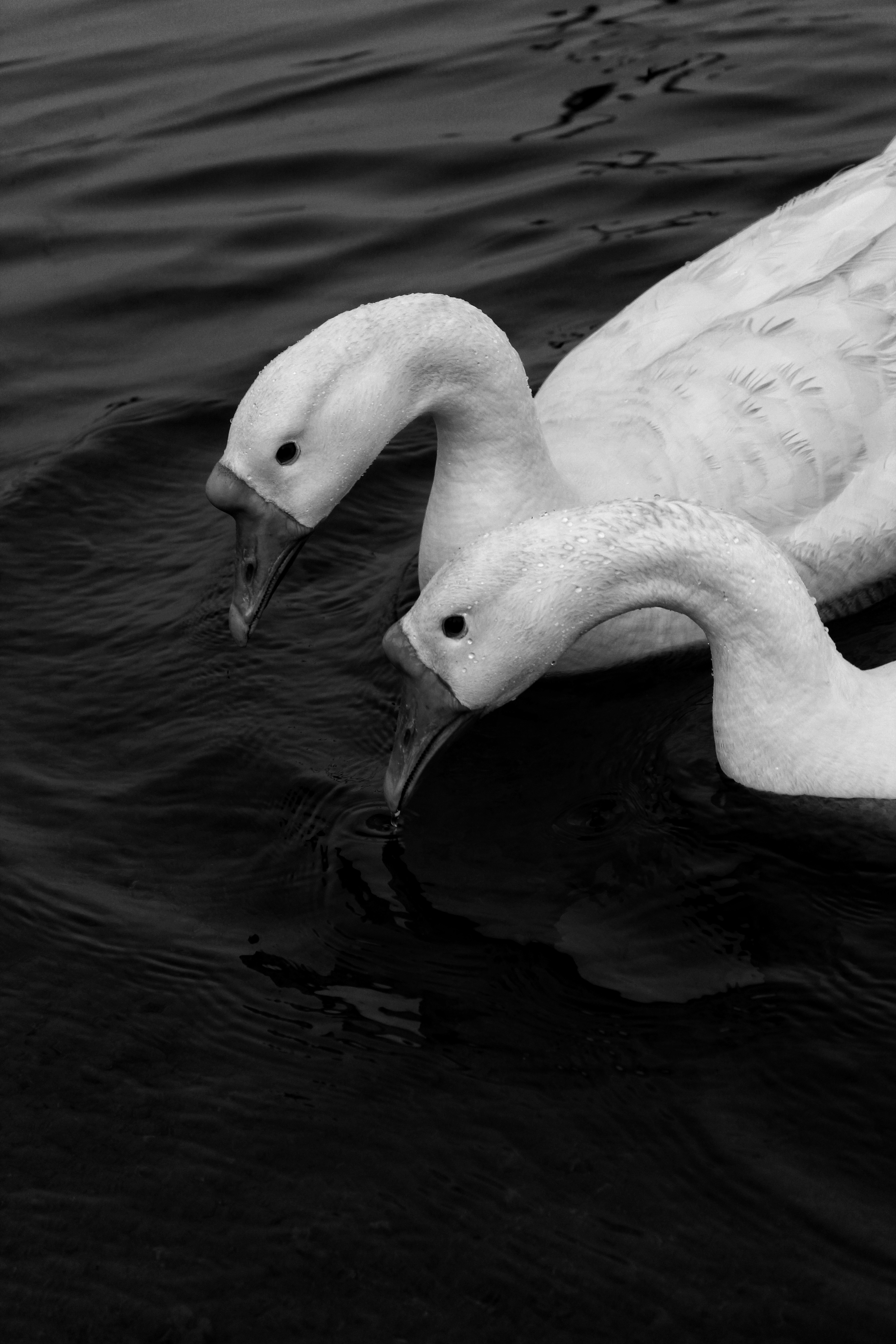 Close-up Grayscale Photo of Two Swans on Water