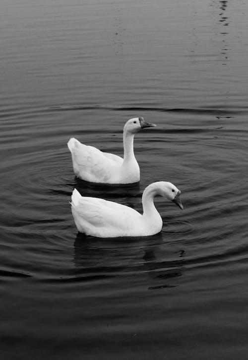 göl, hayvan, kuğular, kuş içeren Ücretsiz stok fotoğraf