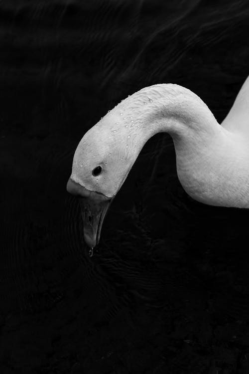 Close-up Grayscale Photo of Swan