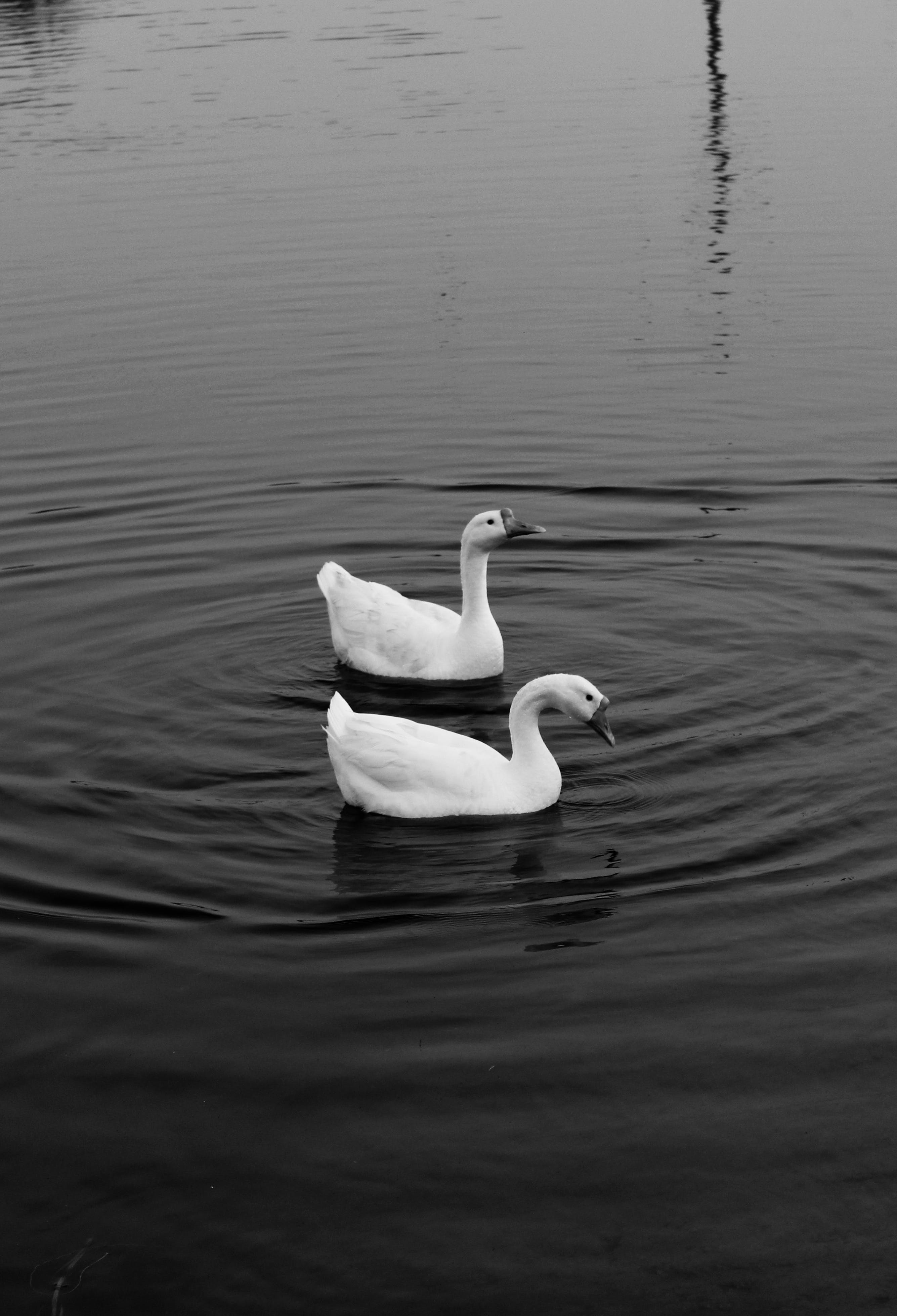 Free stock photo of black and white, duck