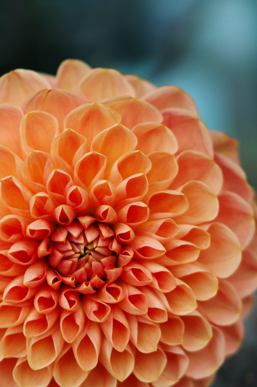 Foto d'estoc gratuïta de flor, flor bonica, fons, taronja
