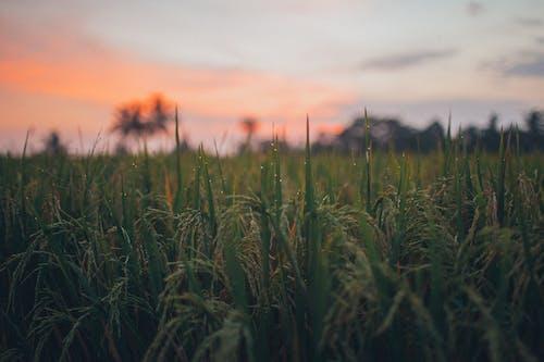 Бесплатное стоковое фото с за городом, закат, зеленый, зерновые