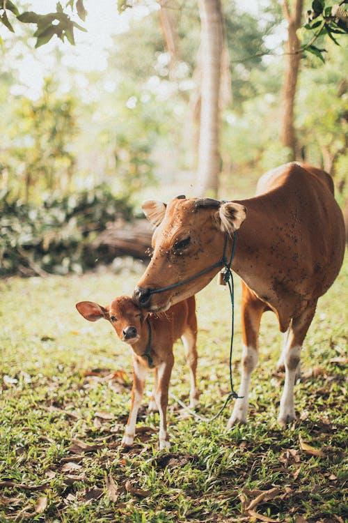 Ingyenes stockfotó állat, állatállomány, borjú, emlős témában