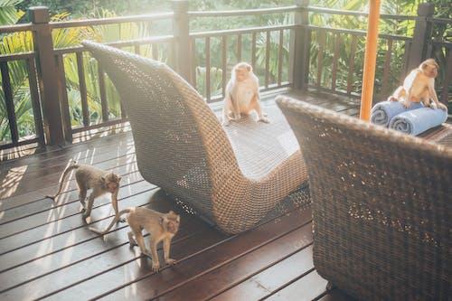 Gratis stockfoto met apen, balkon, beesten, bomen
