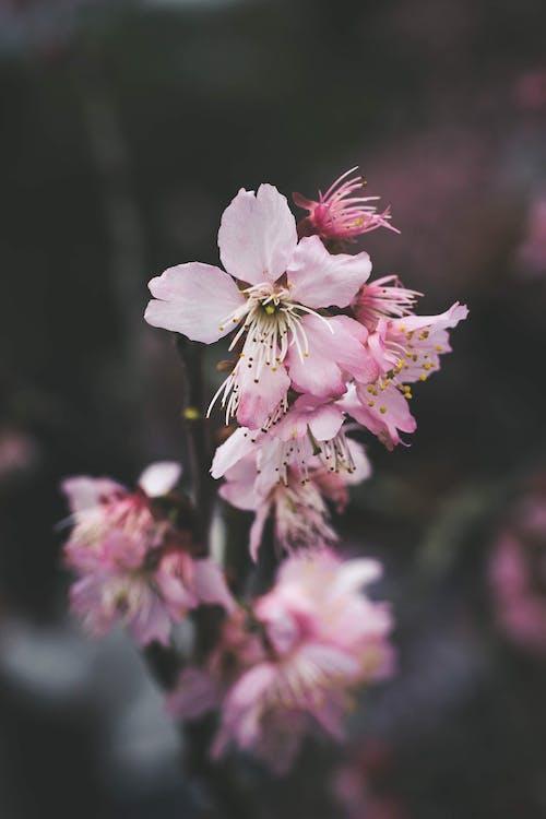 Photos gratuites de délicat, fleurs, fleurs de cerisier, fleurs roses