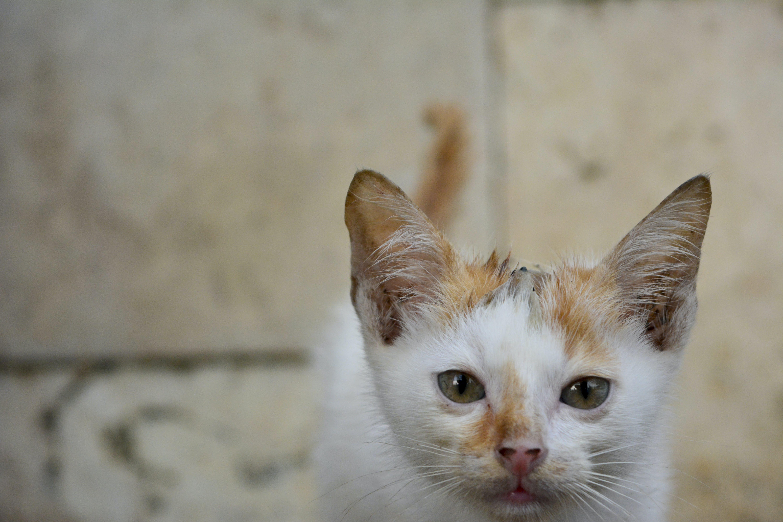 Free stock photo of animal, brown eyes, cat, cateyes