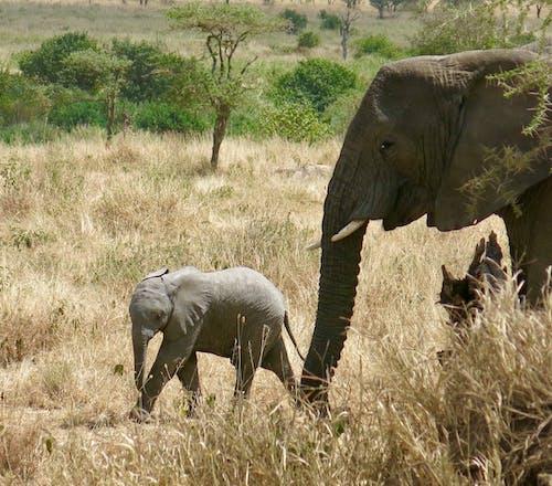 Gratis lagerfoto af afrika, afrikansk elefant, baby elefant