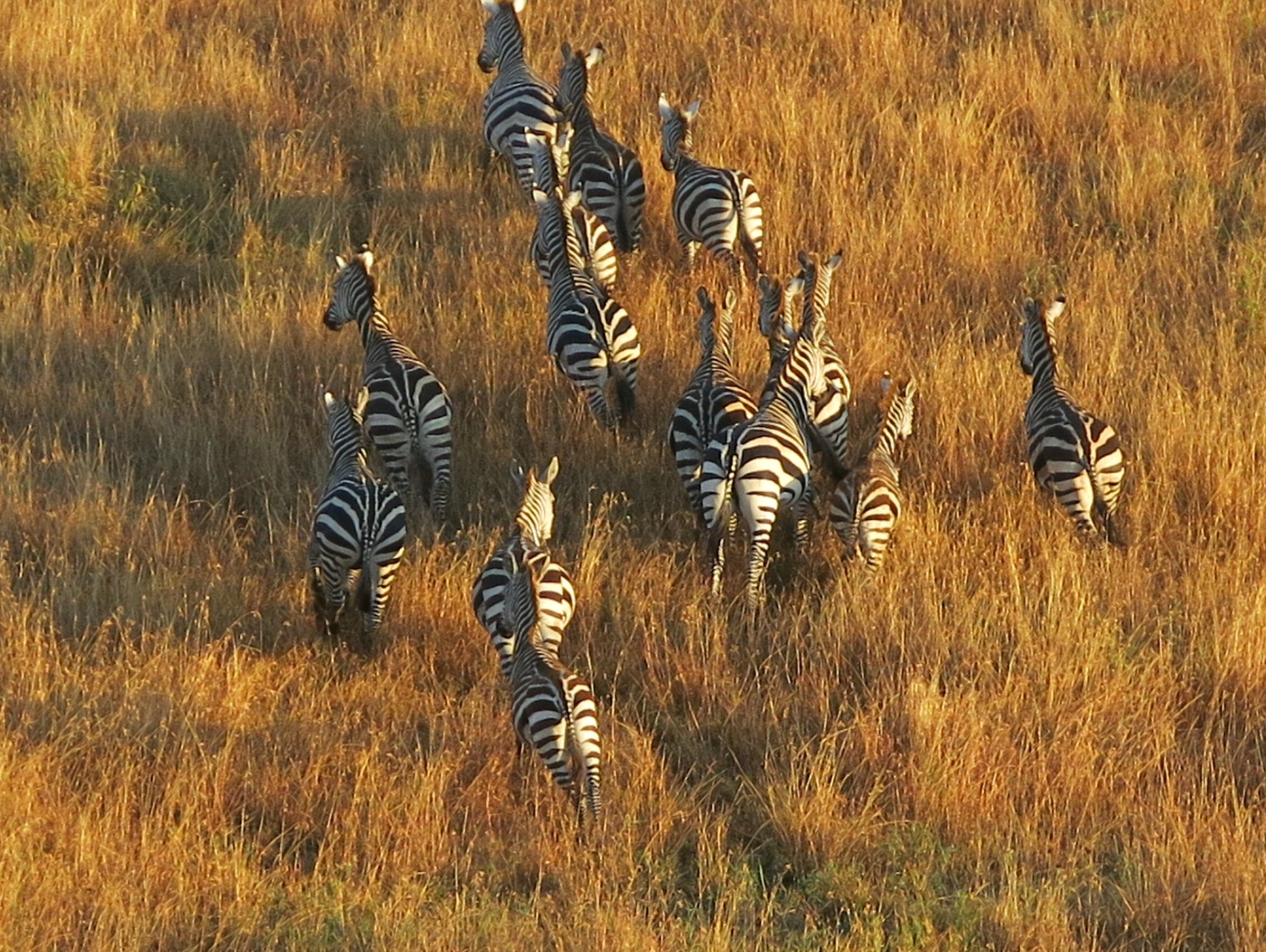 Free stock photo of hot air balloon, serengeti, zebras