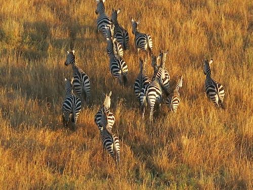Gratis lagerfoto af serengeti, varmluftsballon, Zebraer
