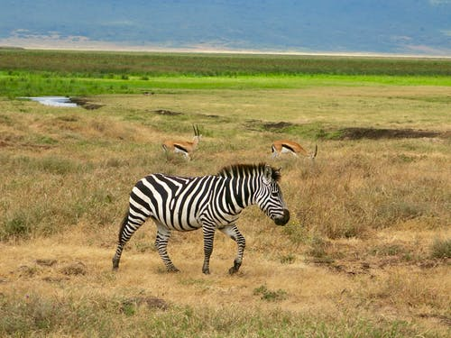 Gratis lagerfoto af zebra