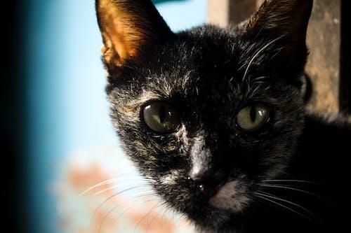 Foto stok gratis anak kucing, belacu, dasar, gambar kucing