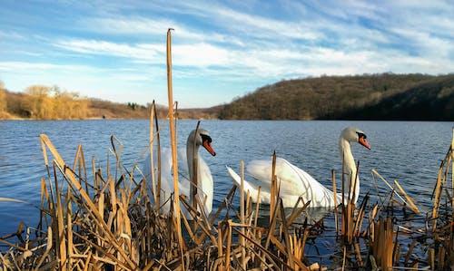 Imagine de stoc gratuită din frumusețe în natură, lacul lebedelor, lebădă