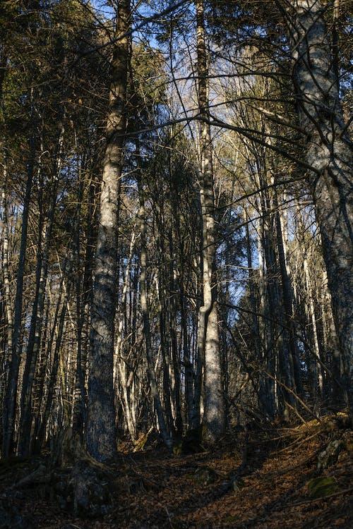 Kostnadsfri bild av skog, trä