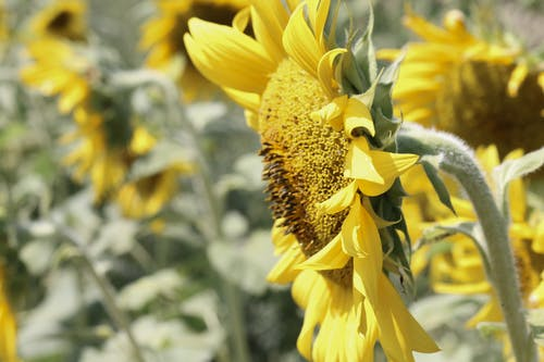 Бесплатное стоковое фото с желтый, подсолнечник, природа, фон подсолнечника