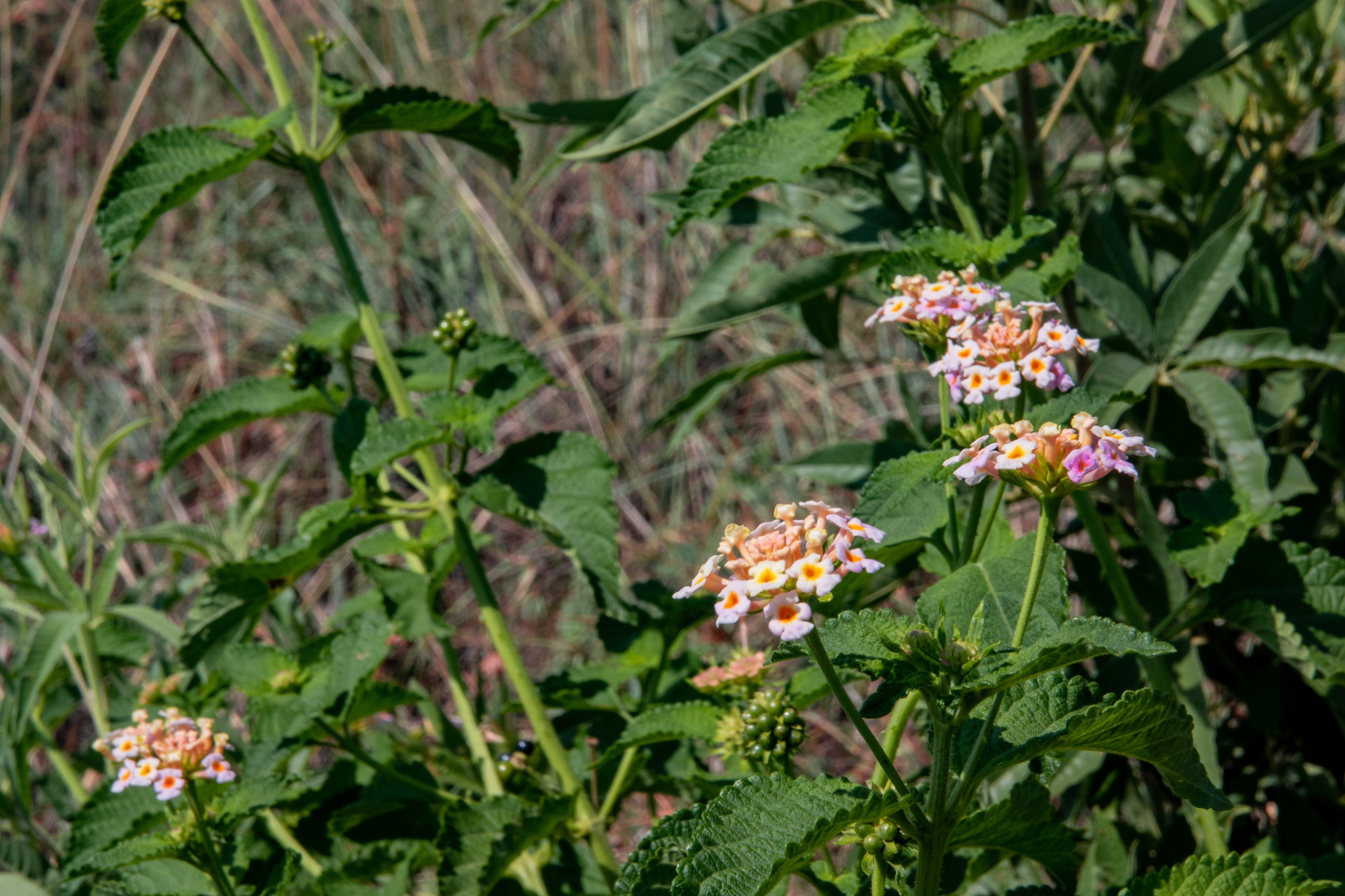 Free stock photo of bush, grass, nature, pink flower