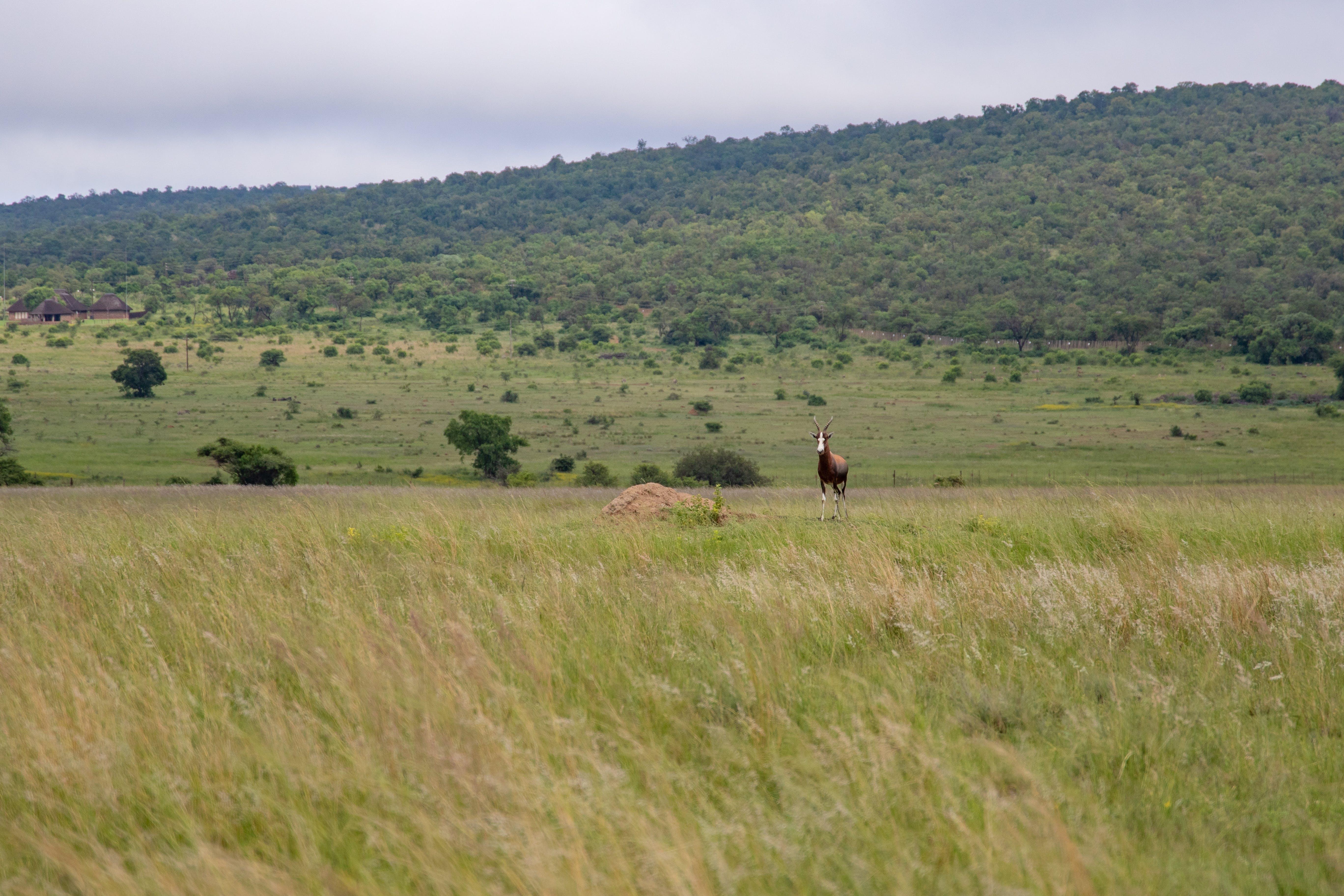 Free stock photo of animals, antelope, buck, conservation