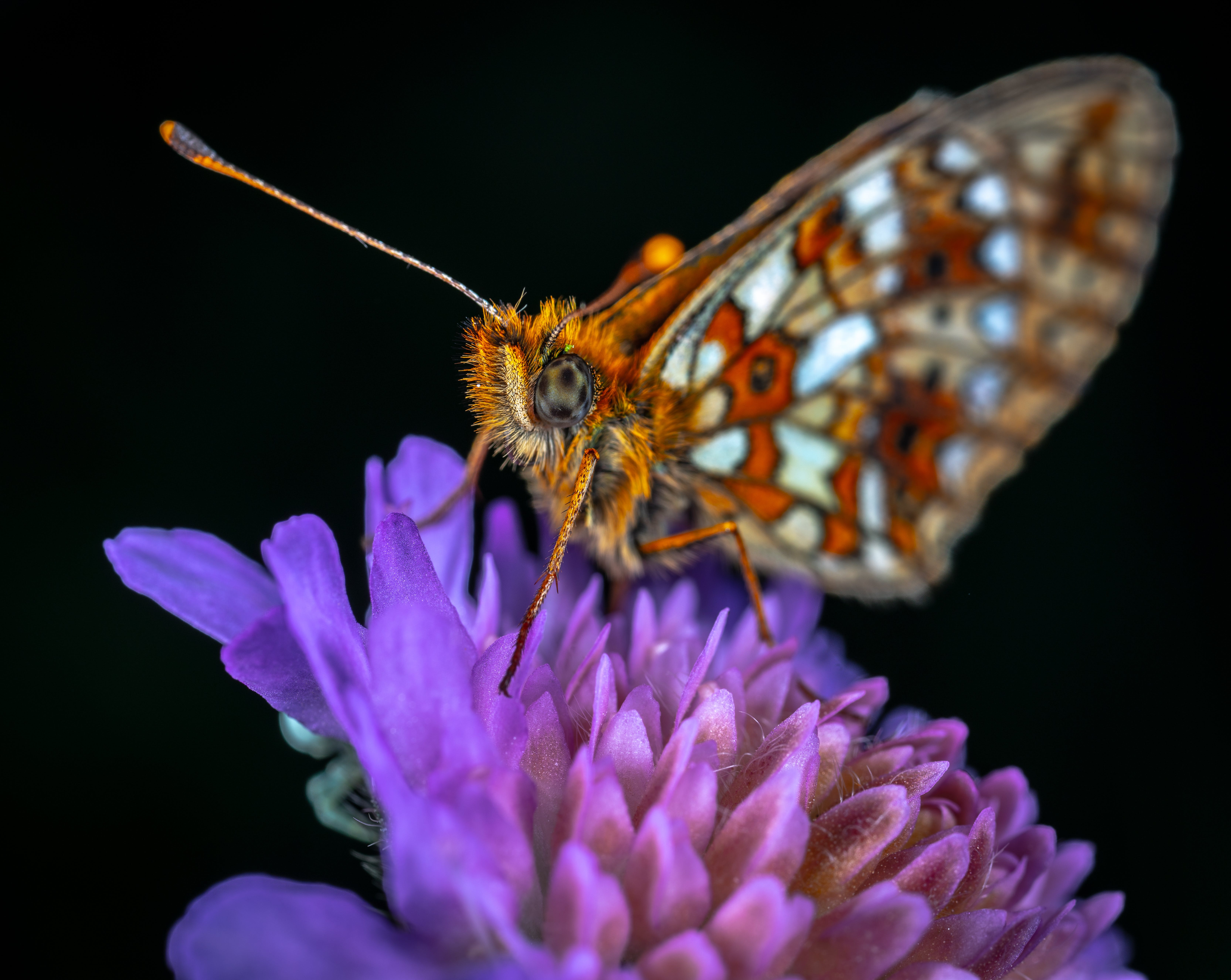 Kostenloses Stock Foto zu insekt, makro, schmetterling