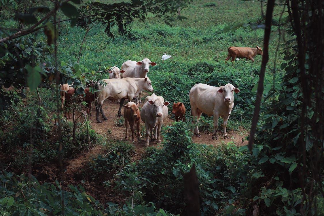 корови, Природа, тварини
