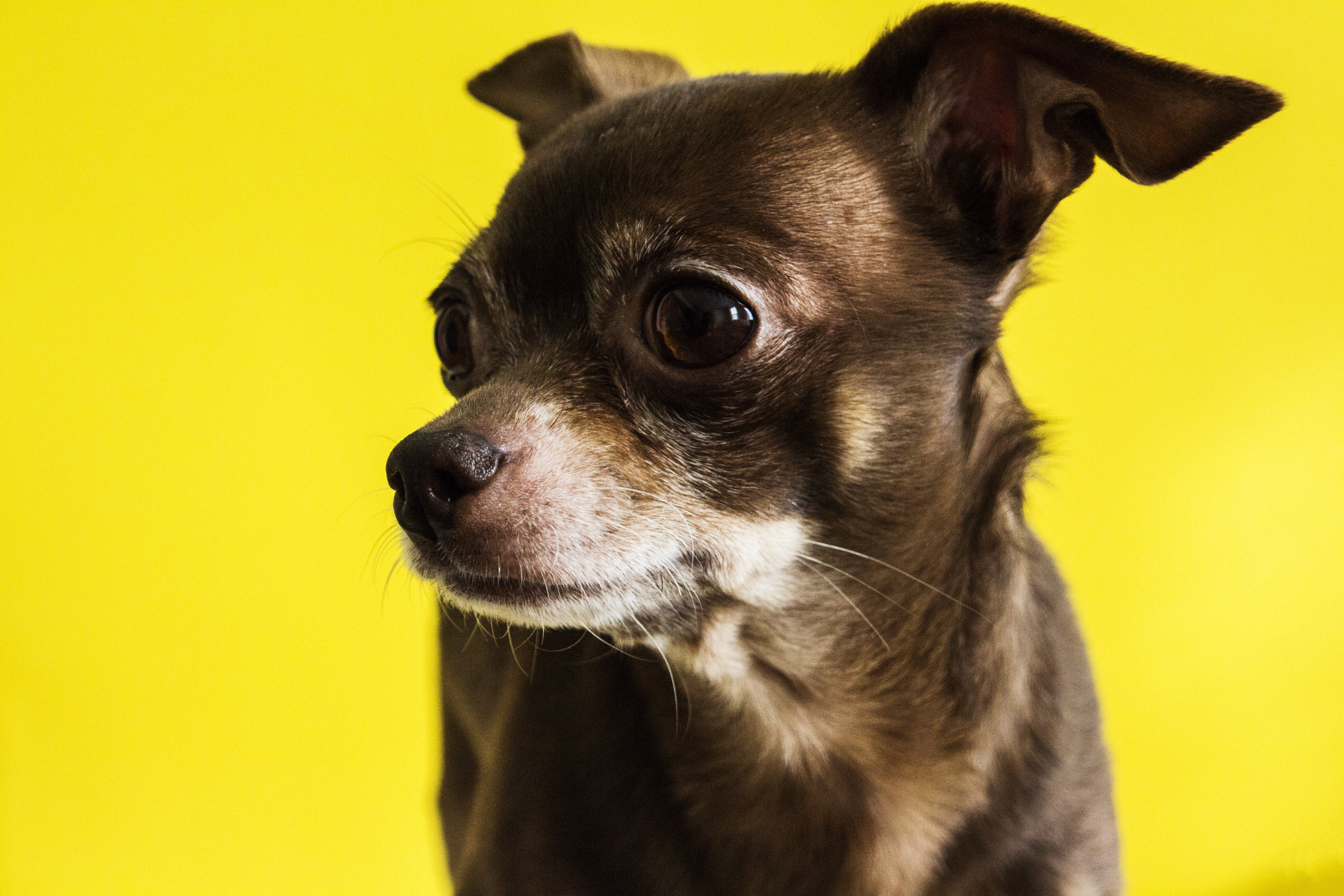 Gratis lagerfoto af chihuahua, dyr, hund, husdyr
