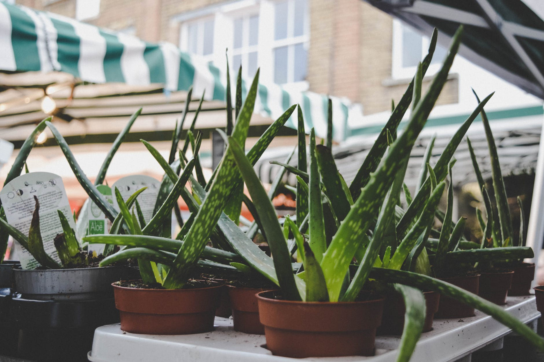 Lots of Aloe Vera Plants place in Pots on the balcony.