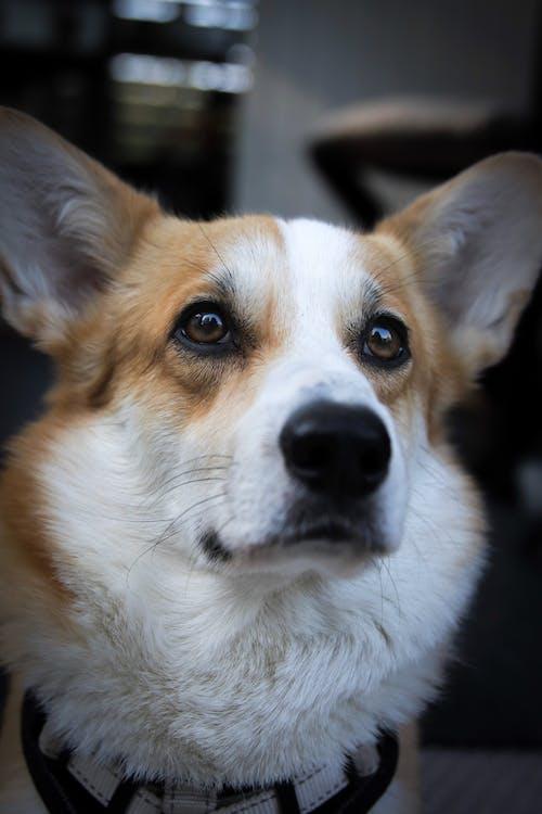 Základová fotografie zdarma na téma corgi, oči, pes