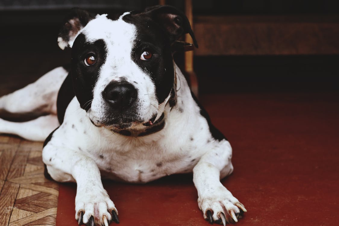 Close-up Photography of Adult Black and White American Pit Bull Terrier Prone Lying on Floor