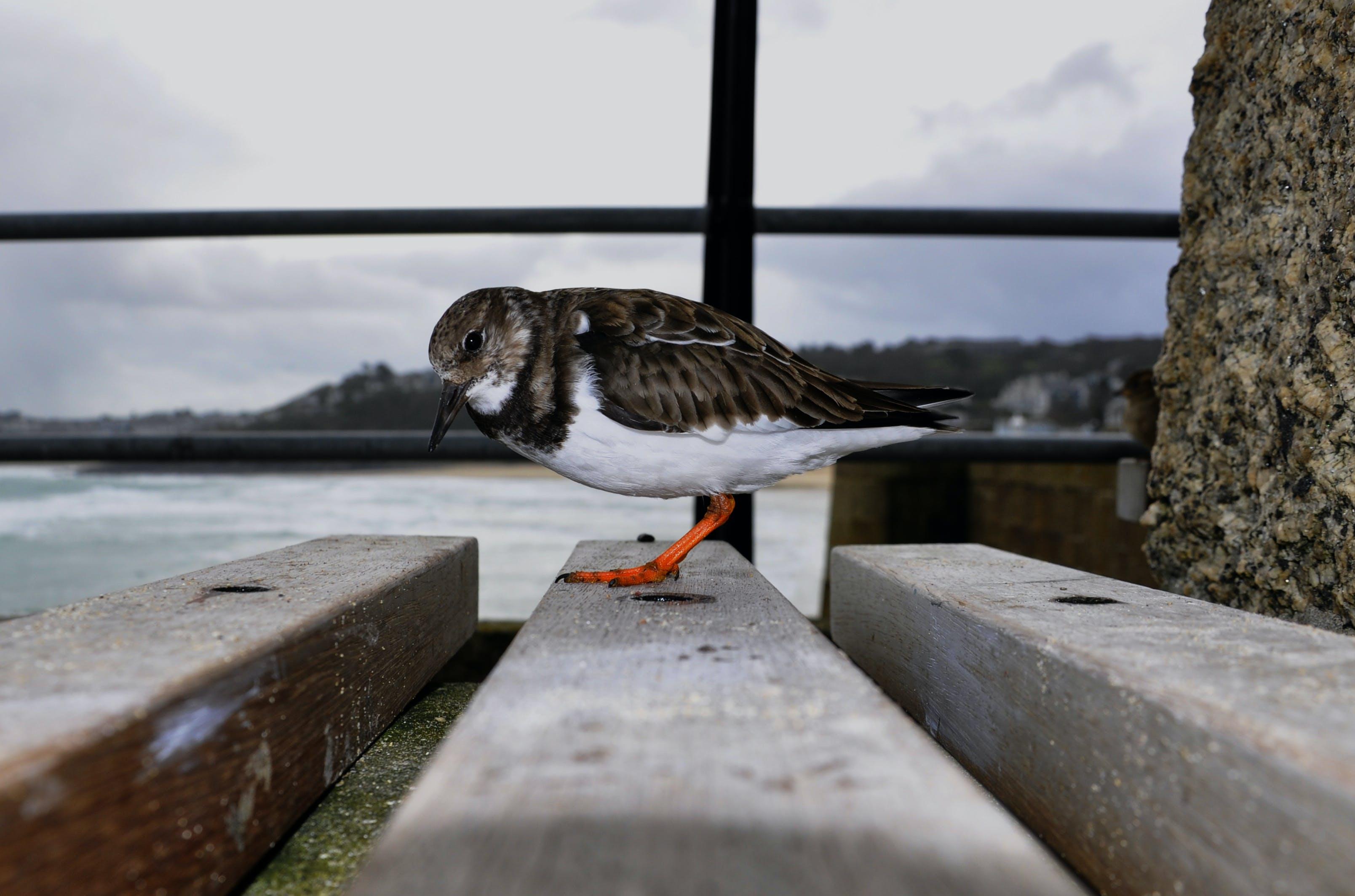 Free stock photo of bird, Turnstone