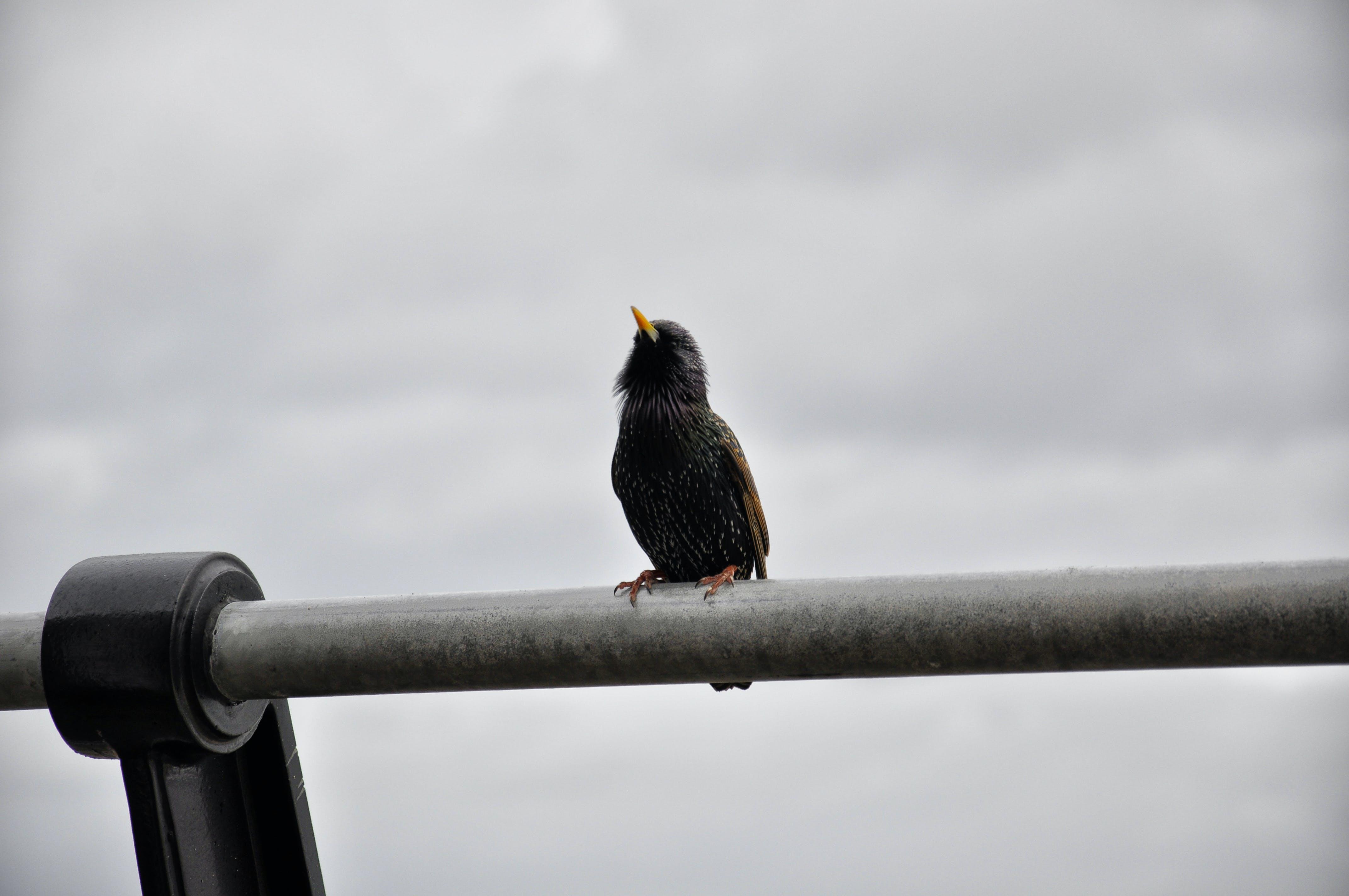 Free stock photo of bird, starling