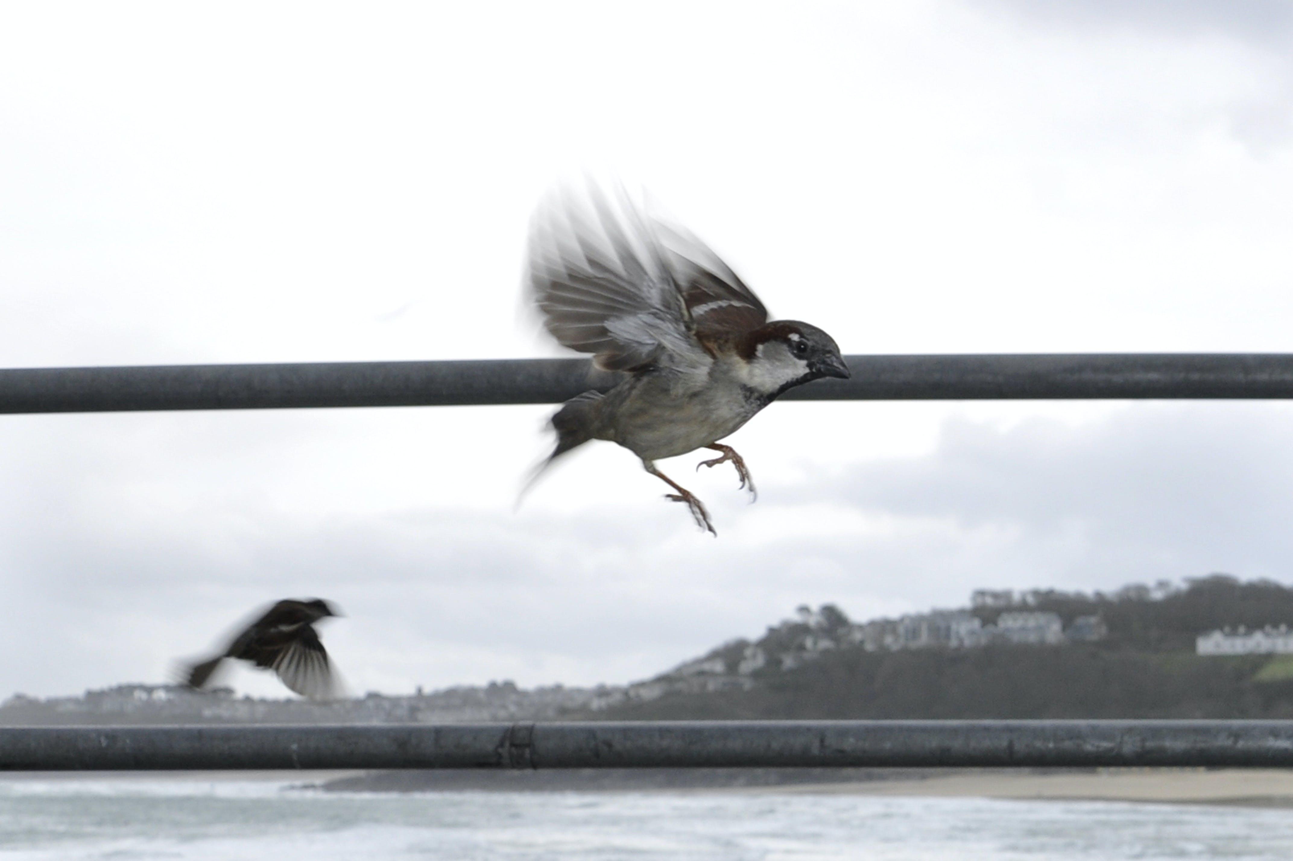Free stock photo of bird, flight, sparrow