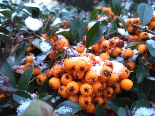 Free stock photo of berry, dark green plants, orange, snow