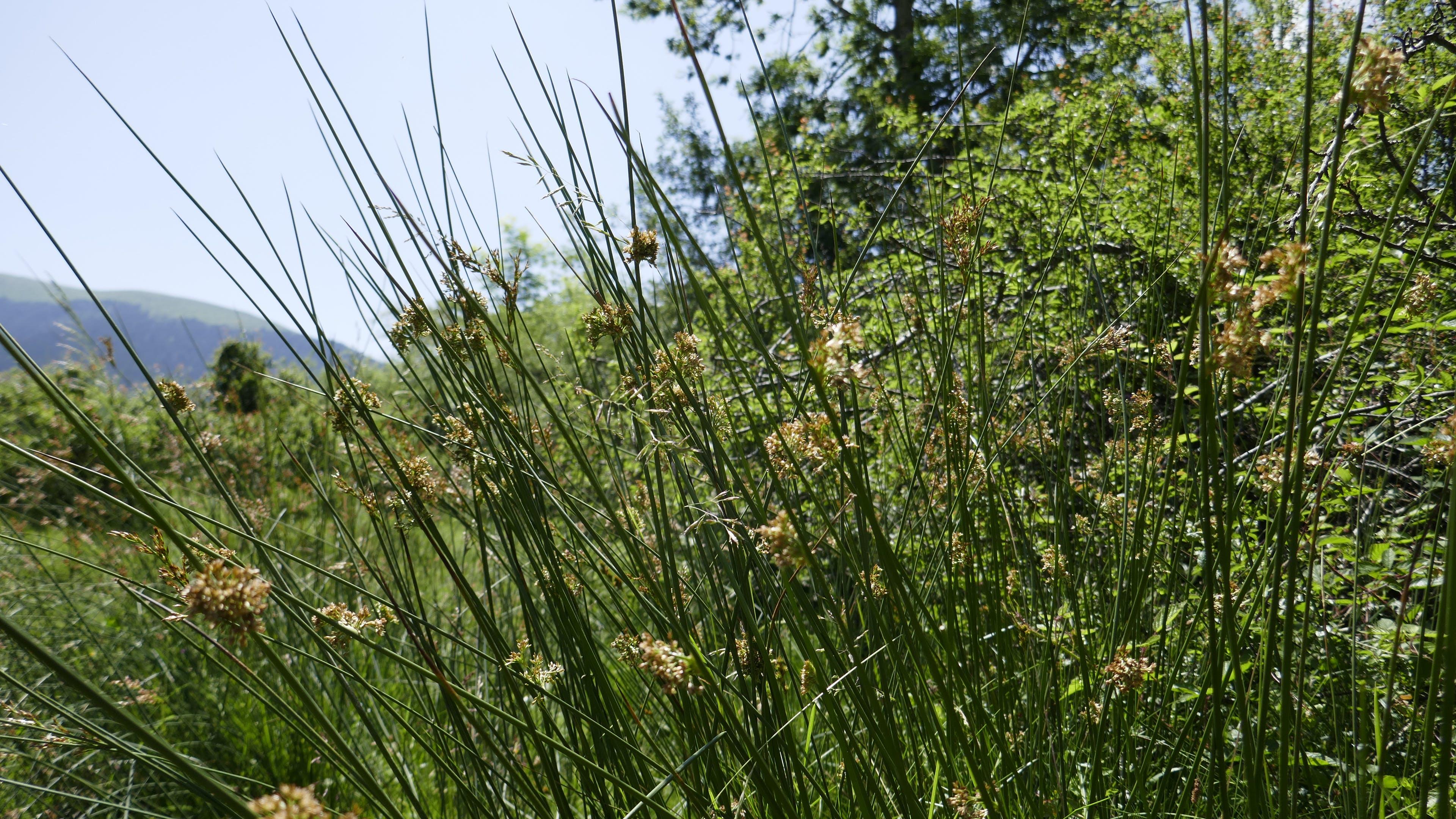Free stock photo of aquatic grass, green plants